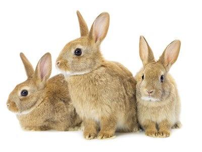 Drei braune Kaninchen schauen unschuldig