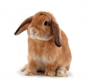 Rageber: Die Kastration von Kaninchen