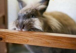 Kaninchen frisst an Holzlasur
