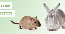 Ratten im Kaninchenstall